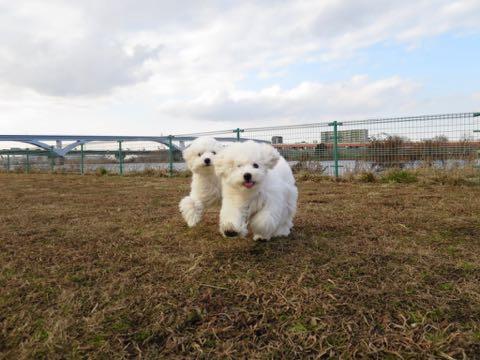 ビションフリーゼこいぬ情報フントヒュッテビションこいぬ画像子犬の社会化ビション赤ちゃんおんなのこかわいいビションフリーゼおとこのこ東京ビション出産情報性格ビション家族募集中_1270