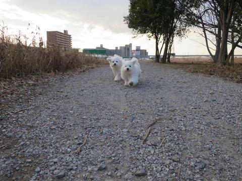 ビションフリーゼこいぬ情報フントヒュッテビションこいぬ画像子犬の社会化ビション赤ちゃんおんなのこかわいいビションフリーゼおとこのこ東京ビション出産情報性格ビション家族募集中_1284