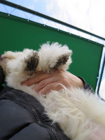 ビションフリーゼこいぬ情報フントヒュッテビションこいぬ画像子犬の社会化ビション赤ちゃんおんなのこかわいいビションフリーゼおとこのこ東京ビション出産情報性格ビション家族募集中_1296