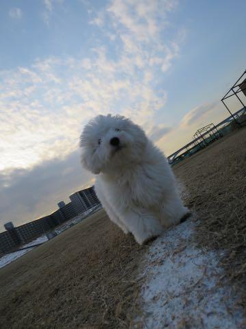 ビションフリーゼこいぬ情報フントヒュッテビションこいぬ画像子犬の社会化ビション赤ちゃんおんなのこかわいいビションフリーゼおとこのこ東京ビション出産情報性格ビション家族募集中_1303