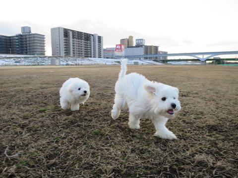 ビションフリーゼこいぬ情報フントヒュッテビションこいぬ画像子犬の社会化ビション赤ちゃんおんなのこかわいいビションフリーゼおとこのこ東京ビション出産情報性格ビション家族募集中_1310