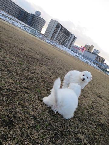 ビションフリーゼこいぬ情報フントヒュッテビションこいぬ画像子犬の社会化ビション赤ちゃんおんなのこかわいいビションフリーゼおとこのこ東京ビション出産情報性格ビション家族募集中_1311