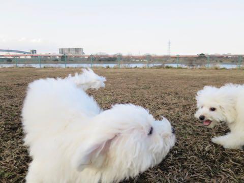 ビションフリーゼこいぬ情報フントヒュッテビションこいぬ画像子犬の社会化ビション赤ちゃんおんなのこかわいいビションフリーゼおとこのこ東京ビション出産情報性格ビション家族募集中_1314