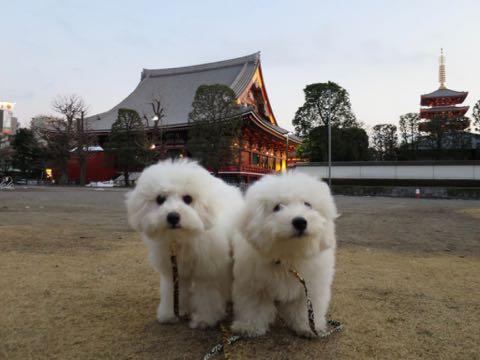 ビションフリーゼこいぬ情報フントヒュッテビションこいぬ画像子犬の社会化ビション赤ちゃんおんなのこかわいいビションフリーゼおとこのこ東京ビション出産情報性格ビション家族募集中_1329
