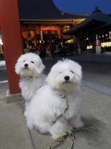 ビションフリーゼこいぬ情報フントヒュッテビションこいぬ画像子犬の社会化ビション赤ちゃんおんなのこかわいいビションフリーゼおとこのこ東京ビション出産情報性格ビション家族募集中_1332