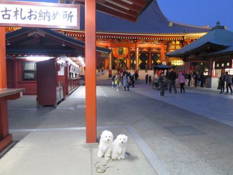ビションフリーゼこいぬ情報フントヒュッテビションこいぬ画像子犬の社会化ビション赤ちゃんおんなのこかわいいビションフリーゼおとこのこ東京ビション出産情報性格ビション家族募集中_1333