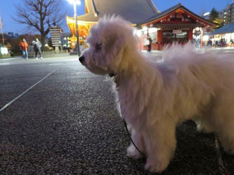 ビションフリーゼこいぬ情報フントヒュッテビションこいぬ画像子犬の社会化ビション赤ちゃんおんなのこかわいいビションフリーゼおとこのこ東京ビション出産情報性格ビション家族募集中_1334