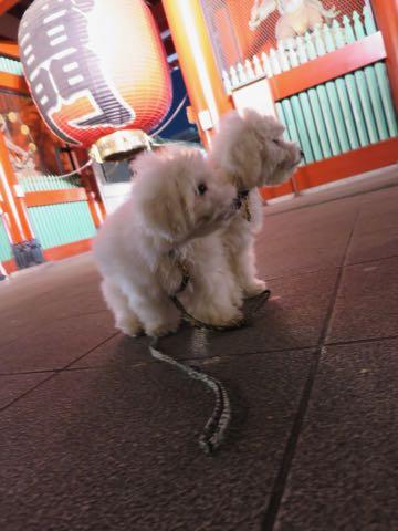 ビションフリーゼこいぬ情報フントヒュッテビションこいぬ画像子犬の社会化ビション赤ちゃんおんなのこかわいいビションフリーゼおとこのこ東京ビション出産情報性格ビション家族募集中_1335