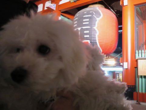 ビションフリーゼこいぬ情報フントヒュッテビションこいぬ画像子犬の社会化ビション赤ちゃんおんなのこかわいいビションフリーゼおとこのこ東京ビション出産情報性格ビション家族募集中_1337