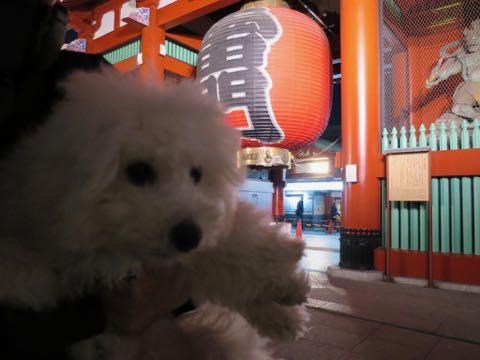 ビションフリーゼこいぬ情報フントヒュッテビションこいぬ画像子犬の社会化ビション赤ちゃんおんなのこかわいいビションフリーゼおとこのこ東京ビション出産情報性格ビション家族募集中_1338