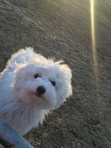 ビションフリーゼこいぬ情報フントヒュッテビションこいぬ画像子犬の社会化ビション赤ちゃんおんなのこかわいいビションフリーゼおとこのこ東京ビション出産情報性格ビション家族募集中_1369
