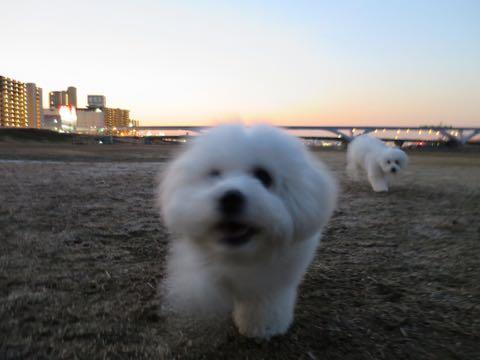 ビションフリーゼこいぬ情報フントヒュッテビションこいぬ画像子犬の社会化ビション赤ちゃんおんなのこかわいいビションフリーゼおとこのこ東京ビション出産情報性格ビション家族募集中_1422