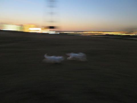 ビションフリーゼこいぬ情報フントヒュッテビションこいぬ画像子犬の社会化ビション赤ちゃんおんなのこかわいいビションフリーゼおとこのこ東京ビション出産情報性格ビション家族募集中_1428