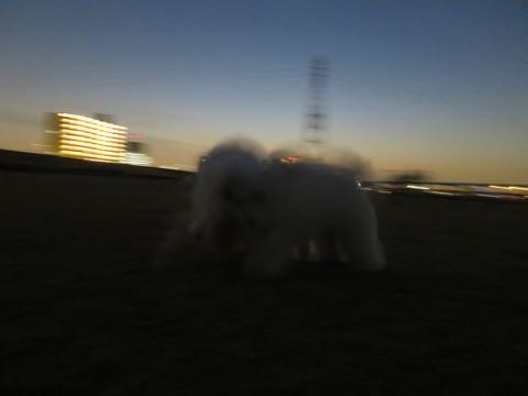 ビションフリーゼこいぬ情報フントヒュッテビションこいぬ画像子犬の社会化ビション赤ちゃんおんなのこかわいいビションフリーゼおとこのこ東京ビション出産情報性格ビション家族募集中_1430