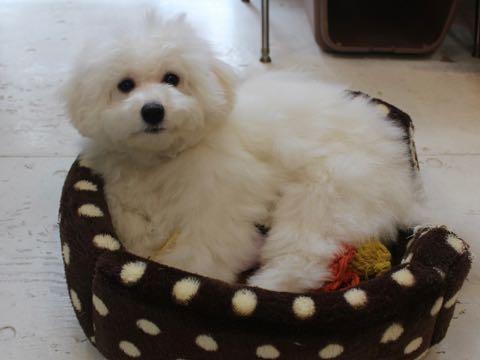 ビションフリーゼこいぬ情報フントヒュッテビションこいぬ画像子犬の社会化ビション赤ちゃんおんなのこかわいいビションフリーゼおとこのこ東京ビション出産情報性格ビション家族募集中_1438