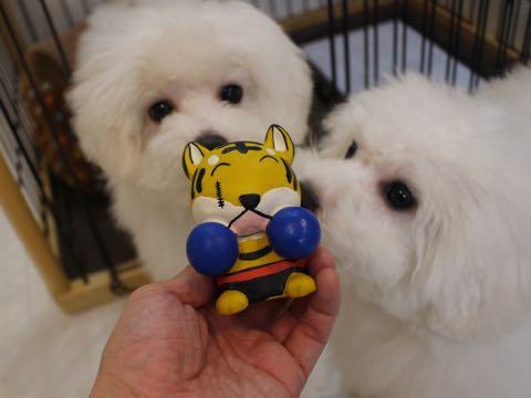 ビションフリーゼこいぬ情報フントヒュッテビションこいぬ画像子犬の社会化ビション赤ちゃんおんなのこかわいいビションフリーゼおとこのこ東京ビション出産情報性格ビション家族募集中_1444