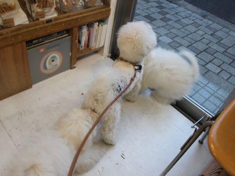 ビションフリーゼこいぬ情報フントヒュッテビションこいぬ画像子犬の社会化ビション赤ちゃんおんなのこかわいいビションフリーゼおとこのこ東京ビション出産情報性格ビション家族募集中_1449