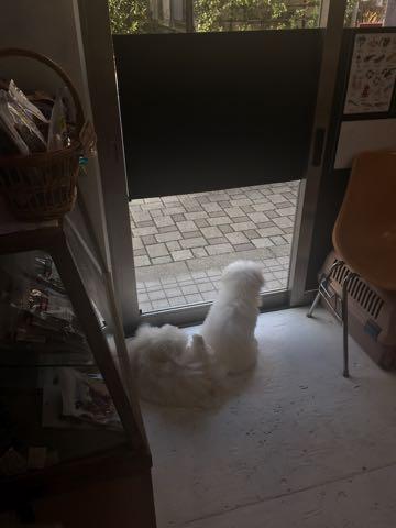 ビションフリーゼこいぬ情報フントヒュッテビションこいぬ画像子犬の社会化ビション赤ちゃんおんなのこかわいいビションフリーゼおとこのこ東京ビション出産情報性格ビション家族募集中_1454