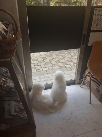 ビションフリーゼこいぬ情報フントヒュッテビションこいぬ画像子犬の社会化ビション赤ちゃんおんなのこかわいいビションフリーゼおとこのこ東京ビション出産情報性格ビション家族募集中_1456