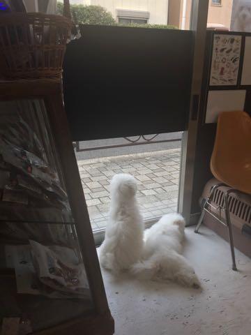 ビションフリーゼこいぬ情報フントヒュッテビションこいぬ画像子犬の社会化ビション赤ちゃんおんなのこかわいいビションフリーゼおとこのこ東京ビション出産情報性格ビション家族募集中_1457