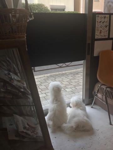 ビションフリーゼこいぬ情報フントヒュッテビションこいぬ画像子犬の社会化ビション赤ちゃんおんなのこかわいいビションフリーゼおとこのこ東京ビション出産情報性格ビション家族募集中_1458