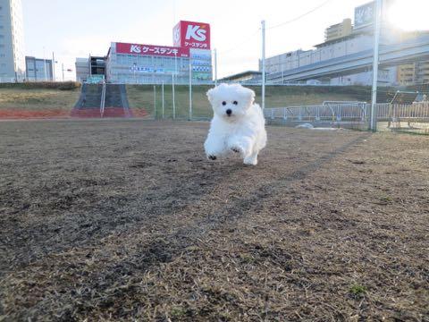 ビションフリーゼこいぬ情報フントヒュッテビションこいぬ画像子犬の社会化ビション赤ちゃんおんなのこかわいいビションフリーゼおとこのこ東京ビション出産情報性格ビション家族募集中_1460