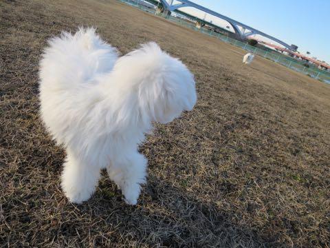 ビションフリーゼこいぬ情報フントヒュッテビションこいぬ画像子犬の社会化ビション赤ちゃんおんなのこかわいいビションフリーゼおとこのこ東京ビション出産情報性格ビション家族募集中_1475