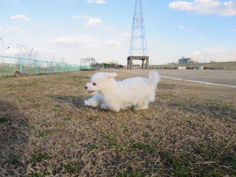 ビションフリーゼこいぬ情報フントヒュッテビションこいぬ画像子犬の社会化ビション赤ちゃんおんなのこかわいいビションフリーゼおとこのこ東京ビション出産情報性格ビション家族募集中_1477