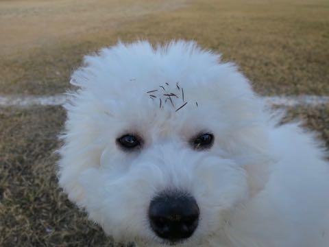 ビションフリーゼこいぬ情報フントヒュッテビションこいぬ画像子犬の社会化ビション赤ちゃんおんなのこかわいいビションフリーゼおとこのこ東京ビション出産情報性格ビション家族募集中_1483
