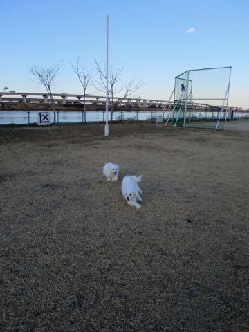 ビションフリーゼこいぬ情報フントヒュッテビションこいぬ画像子犬の社会化ビション赤ちゃんおんなのこかわいいビションフリーゼおとこのこ東京ビション出産情報性格ビション家族募集中_1498