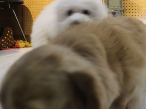 ビションフリーゼこいぬ情報フントヒュッテビションこいぬ画像子犬の社会化ビション赤ちゃんおんなのこかわいいビションフリーゼおとこのこ東京ビション出産情報性格ビション家族募集中_1513