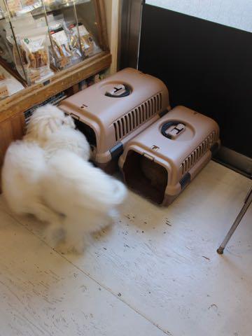ビションフリーゼこいぬ情報フントヒュッテビションこいぬ画像子犬の社会化ビション赤ちゃんおんなのこかわいいビションフリーゼおとこのこ東京ビション出産情報性格ビション家族募集中_1515