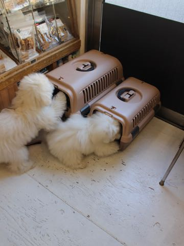 ビションフリーゼこいぬ情報フントヒュッテビションこいぬ画像子犬の社会化ビション赤ちゃんおんなのこかわいいビションフリーゼおとこのこ東京ビション出産情報性格ビション家族募集中_1516