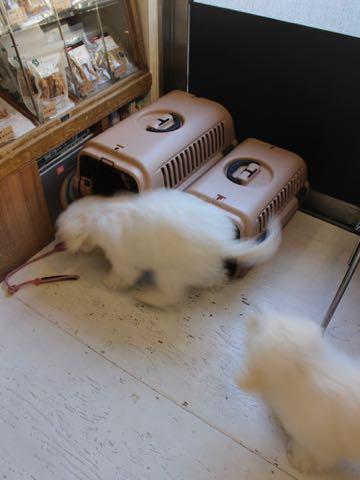 ビションフリーゼこいぬ情報フントヒュッテビションこいぬ画像子犬の社会化ビション赤ちゃんおんなのこかわいいビションフリーゼおとこのこ東京ビション出産情報性格ビション家族募集中_1517