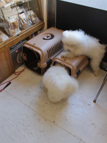 ビションフリーゼこいぬ情報フントヒュッテビションこいぬ画像子犬の社会化ビション赤ちゃんおんなのこかわいいビションフリーゼおとこのこ東京ビション出産情報性格ビション家族募集中_1519