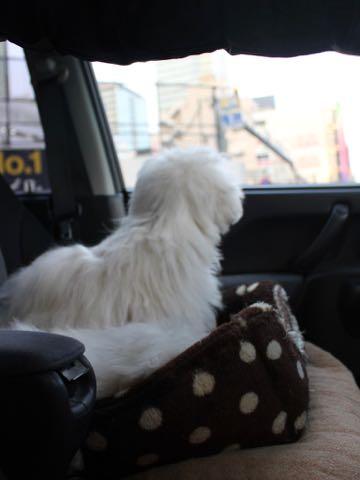 ビションフリーゼこいぬ情報フントヒュッテビションこいぬ画像子犬の社会化ビション赤ちゃんおんなのこかわいいビションフリーゼおとこのこ東京ビション出産情報性格ビション家族募集中_1526