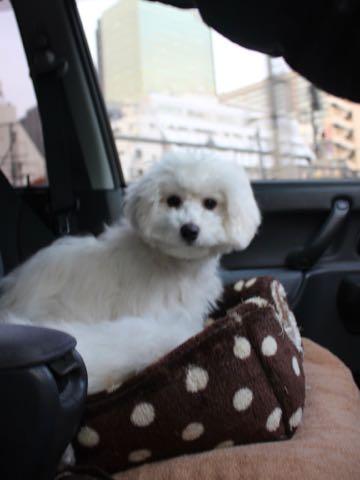 ビションフリーゼこいぬ情報フントヒュッテビションこいぬ画像子犬の社会化ビション赤ちゃんおんなのこかわいいビションフリーゼおとこのこ東京ビション出産情報性格ビション家族募集中_1527