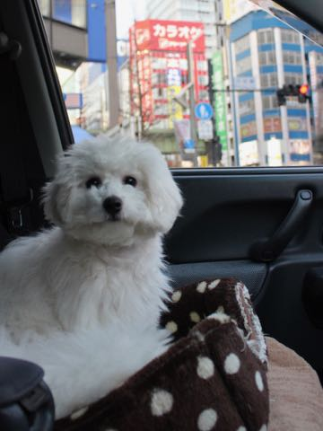 ビションフリーゼこいぬ情報フントヒュッテビションこいぬ画像子犬の社会化ビション赤ちゃんおんなのこかわいいビションフリーゼおとこのこ東京ビション出産情報性格ビション家族募集中_1531
