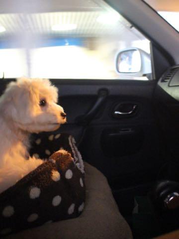ビションフリーゼこいぬ情報フントヒュッテビションこいぬ画像子犬の社会化ビション赤ちゃんおんなのこかわいいビションフリーゼおとこのこ東京ビション出産情報性格ビション家族募集中_1532