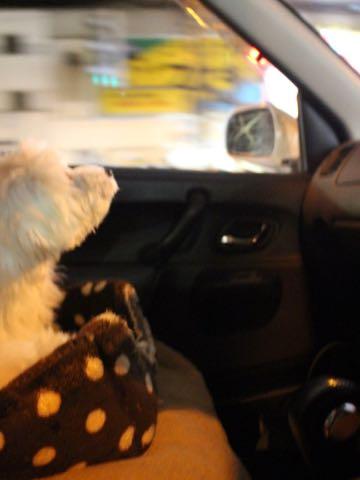 ビションフリーゼこいぬ情報フントヒュッテビションこいぬ画像子犬の社会化ビション赤ちゃんおんなのこかわいいビションフリーゼおとこのこ東京ビション出産情報性格ビション家族募集中_1533