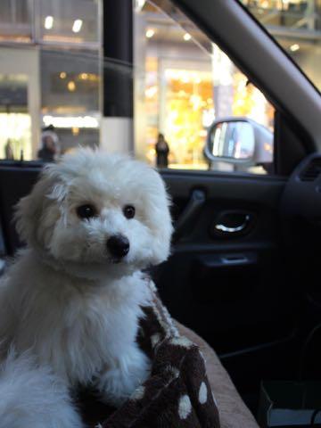 ビションフリーゼこいぬ情報フントヒュッテビションこいぬ画像子犬の社会化ビション赤ちゃんおんなのこかわいいビションフリーゼおとこのこ東京ビション出産情報性格ビション家族募集中_1541