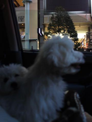 ビションフリーゼこいぬ情報フントヒュッテビションこいぬ画像子犬の社会化ビション赤ちゃんおんなのこかわいいビションフリーゼおとこのこ東京ビション出産情報性格ビション家族募集中_1544