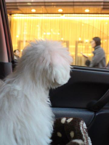 ビションフリーゼこいぬ情報フントヒュッテビションこいぬ画像子犬の社会化ビション赤ちゃんおんなのこかわいいビションフリーゼおとこのこ東京ビション出産情報性格ビション家族募集中_1545