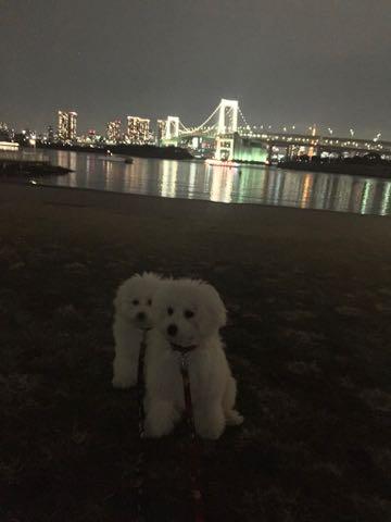 ビションフリーゼこいぬ情報フントヒュッテビションこいぬ画像子犬の社会化ビション赤ちゃんおんなのこかわいいビションフリーゼおとこのこ東京ビション出産情報性格ビション家族募集中_1616