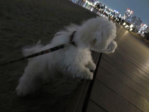 ビションフリーゼこいぬ情報フントヒュッテビションこいぬ画像子犬の社会化ビション赤ちゃんおんなのこかわいいビションフリーゼおとこのこ東京ビション出産情報性格ビション家族募集中_1617