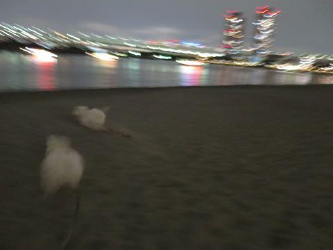 ビションフリーゼこいぬ情報フントヒュッテビションこいぬ画像子犬の社会化ビション赤ちゃんおんなのこかわいいビションフリーゼおとこのこ東京ビション出産情報性格ビション家族募集中_1619