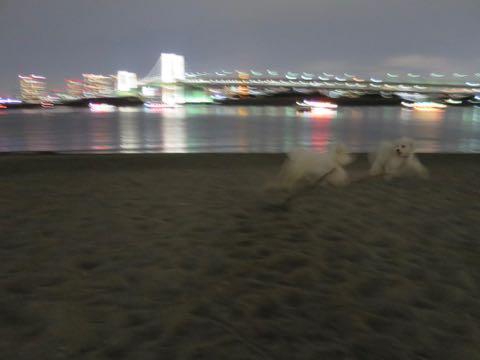 ビションフリーゼこいぬ情報フントヒュッテビションこいぬ画像子犬の社会化ビション赤ちゃんおんなのこかわいいビションフリーゼおとこのこ東京ビション出産情報性格ビション家族募集中_1620