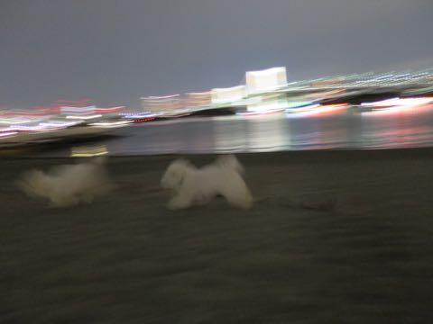 ビションフリーゼこいぬ情報フントヒュッテビションこいぬ画像子犬の社会化ビション赤ちゃんおんなのこかわいいビションフリーゼおとこのこ東京ビション出産情報性格ビション家族募集中_1624