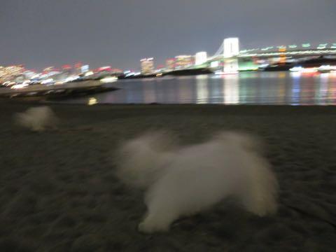 ビションフリーゼこいぬ情報フントヒュッテビションこいぬ画像子犬の社会化ビション赤ちゃんおんなのこかわいいビションフリーゼおとこのこ東京ビション出産情報性格ビション家族募集中_1626