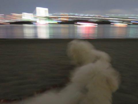 ビションフリーゼこいぬ情報フントヒュッテビションこいぬ画像子犬の社会化ビション赤ちゃんおんなのこかわいいビションフリーゼおとこのこ東京ビション出産情報性格ビション家族募集中_1631